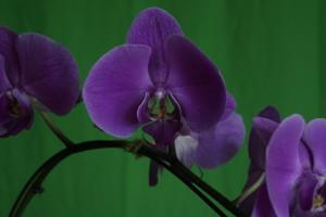 _DSC0284 orchid