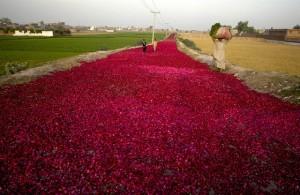 Road of Roses