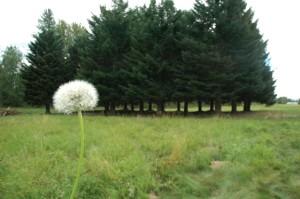 Billion Wish Flower